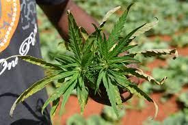 Saint Lucia dichterbij decriminalisering marihuana